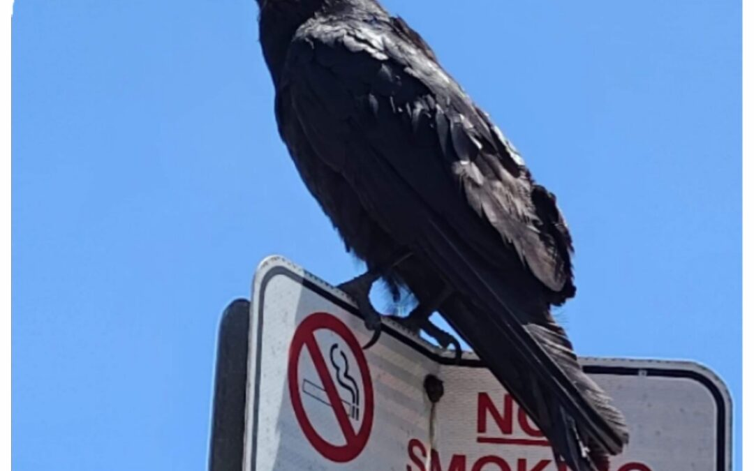 What a Raven?